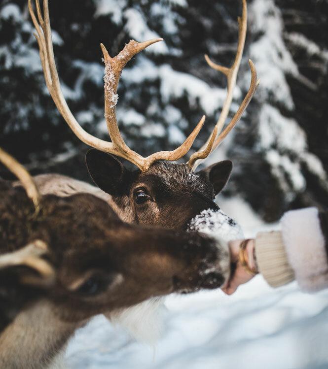 Au pays des rennes en Haute-Savoie